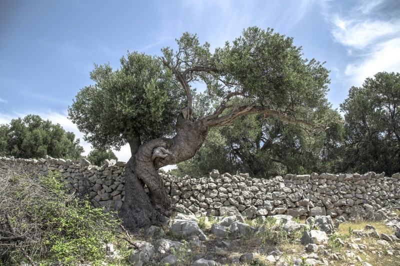 olive tree pag