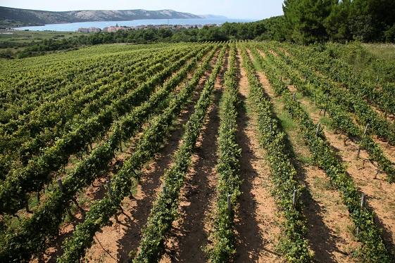 vinograd boškinac